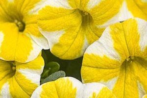 Pflanze Des Jahres 2013: Bella Limoncella
