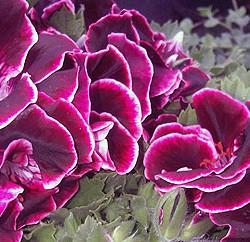 Pflanze Des Jahres 2006 - Prinzessin Purpurella