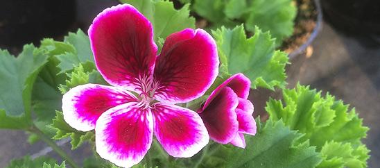 2001 Wilde Hilde (Pelargonium Zonale, Geranie)