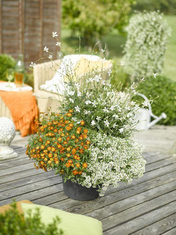 BeeDance Pflanze des Jahres 2016 (Bidens)