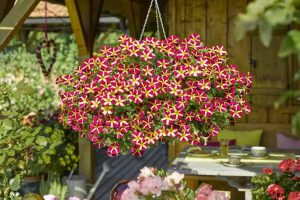 Sinnliche Sissi Pflanze Des Jahres 2017 (Petunie)