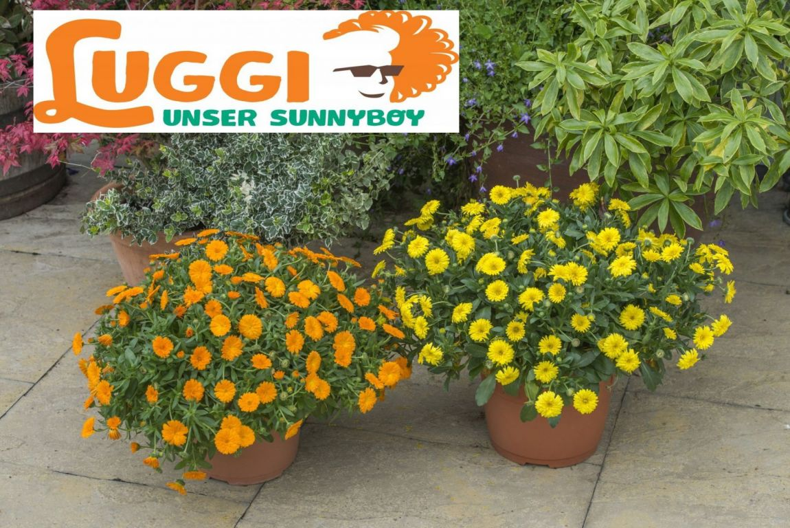 Luggi – Unser Sunnyboy Pflanze Des Jahres 2018 (Ringelblume)